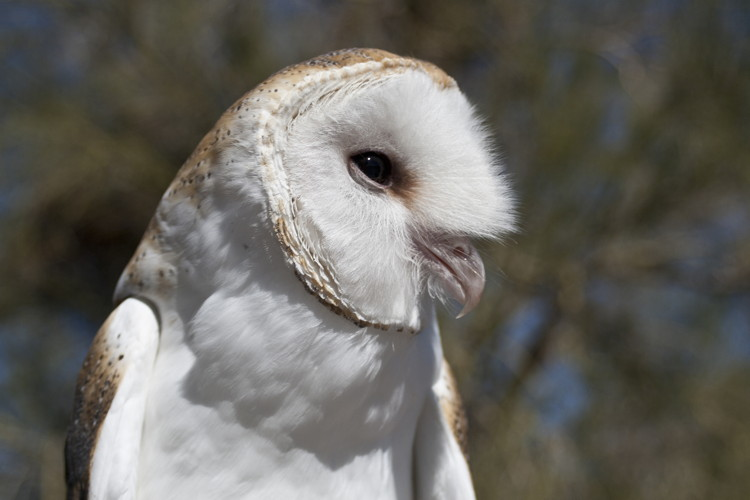 Barn Owl by Lisa J. Roden