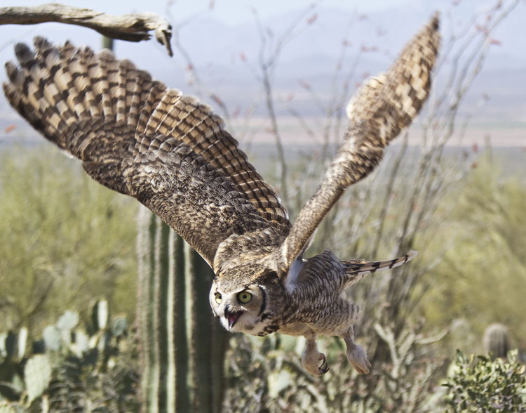 Great Horned Owl Eating Dogs