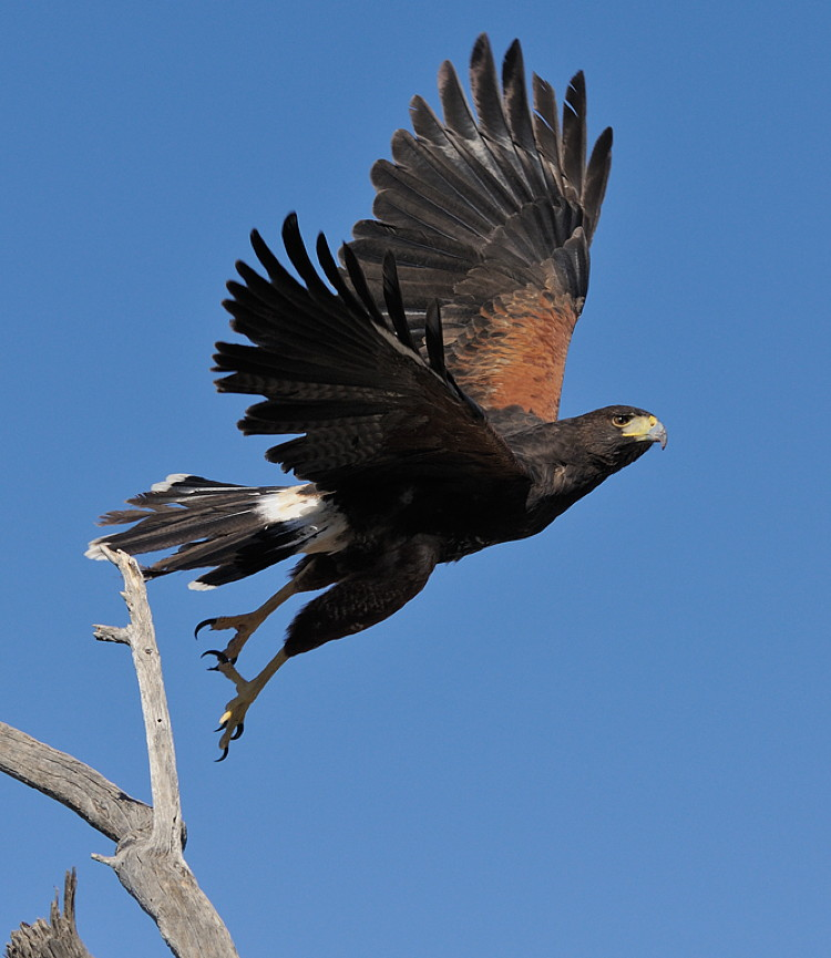 Harris's Hawk by Mike Wilson