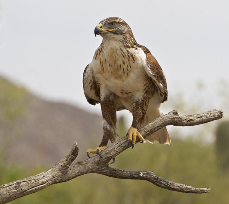 Ferruginous Hawk At The Arizona Sonora Desert Museum