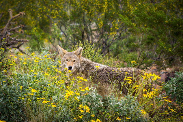 Coyote on the Desert Loop Trail