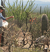 Keeper feeding javelinas