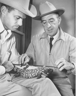 Bill Woodin and Bill Carr measure a Gila monster