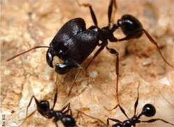 Big-headed ants