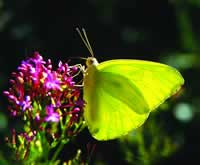 Cloudless Sulfur butterfly enjoys a pink blossom
