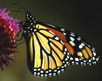 Monarch butterfly alights on a pink blossom