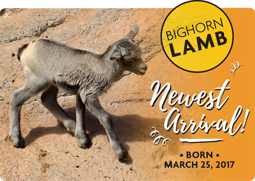 Bighorn Lqmb - Newest Arrival! Born March 25, 2017
