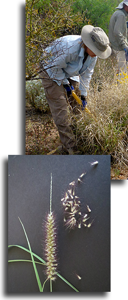 Collage of buffelgrass