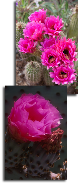 Collage of colorful cacti flowers