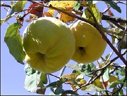 Quince Fruit, Oracle, Arizona