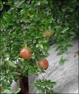 Pomegranates, Patagonia, Arizona