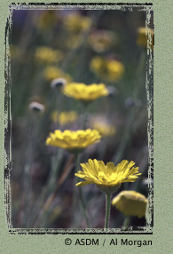 Photo of desert marigold by Al Morgan
