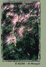 Photo of Fairy Duster by Al Morgan
