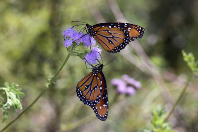 Danaus gilippus - Queen Butterfly by Rhonda Spencer