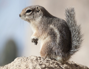 Harris' Antelope Ground Squirrel