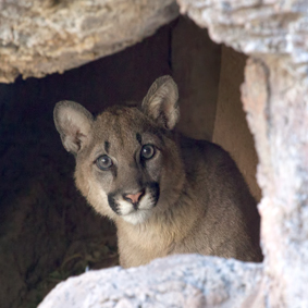 New Mountain Lion Cub peeking out from behind a rock.