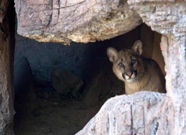New Mountain Lion Cub peeking cautiously out from behind rocks in his new home