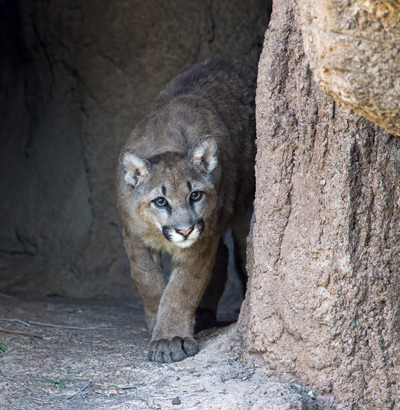 New Mountain Lion Cub walking cautiously out into his new home