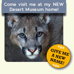 Come visit the new mountain lion dub at my new Desert Museum home! Give me a new name!