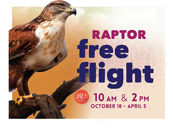 Raptor free flight - daily at 10am and 2pm - October 18, 2014 to April 5, 2015