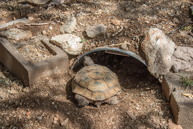 Desert Tortoise entering burrow
