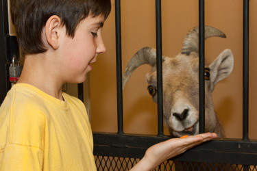 Young boy interacting with big horn sheep