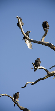 Five vultures sitting on the branches of a dead tree