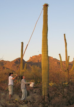 Gathering saguaro fruit