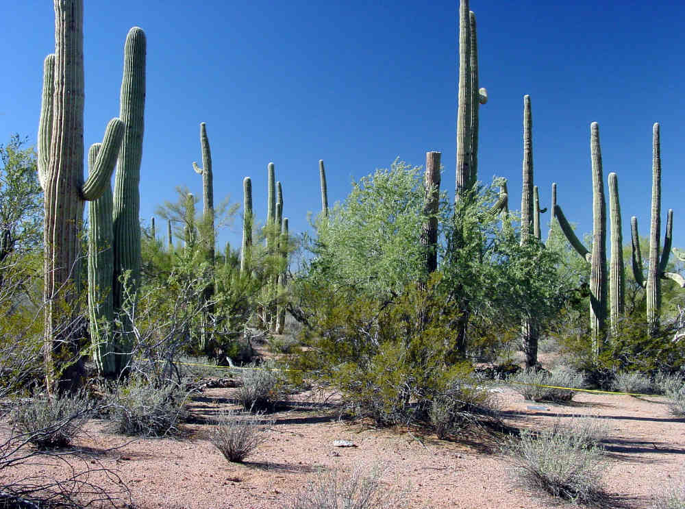 growing in densities exceeded only in Saguaro National Park.
