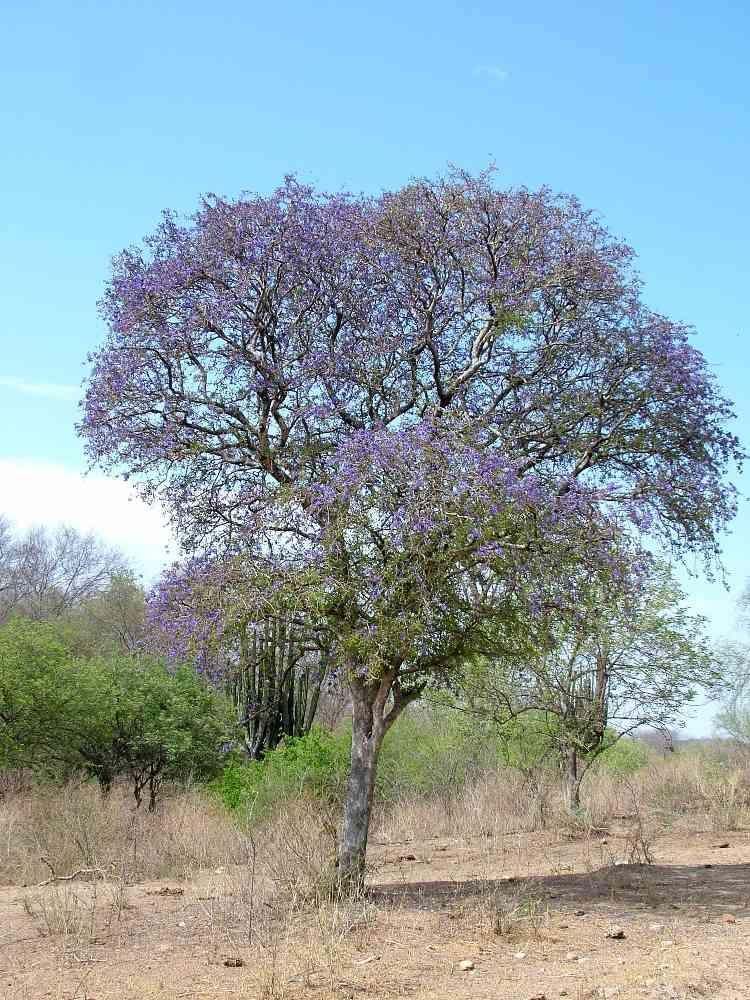Alamos Trees; Guayacan
