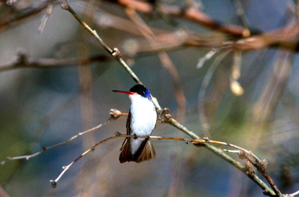 Violet-crowned hummingbird - Wikipedia