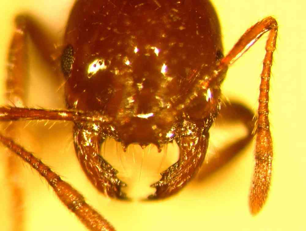 http://www.desertmuseum.org/programs/images/Solenopsis_invicta_head.jpg