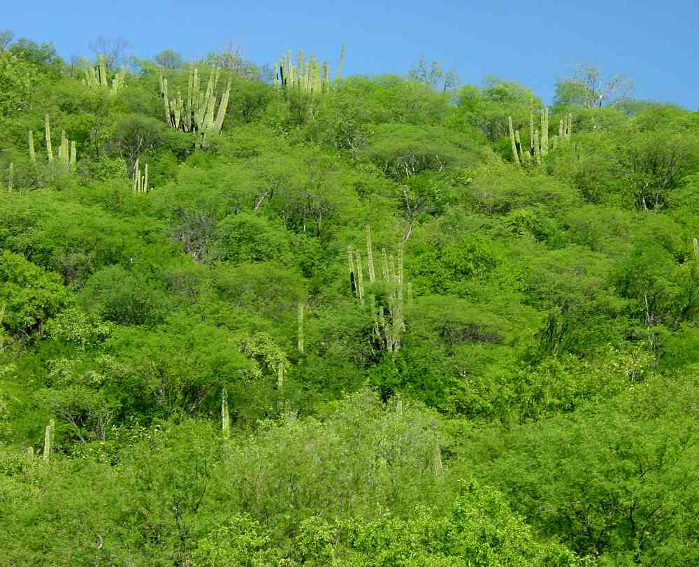 Foothills thornscrub near Guajaray, Sonora. Thornscrub looks nearly