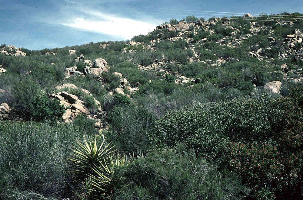 california chaparral Common chaparral plants: adenostoma fasciculatum: chamise california coffeeberry or california buckthorn: rhus integrifolia: lemonade berry: rhus ovata: sugar bush.