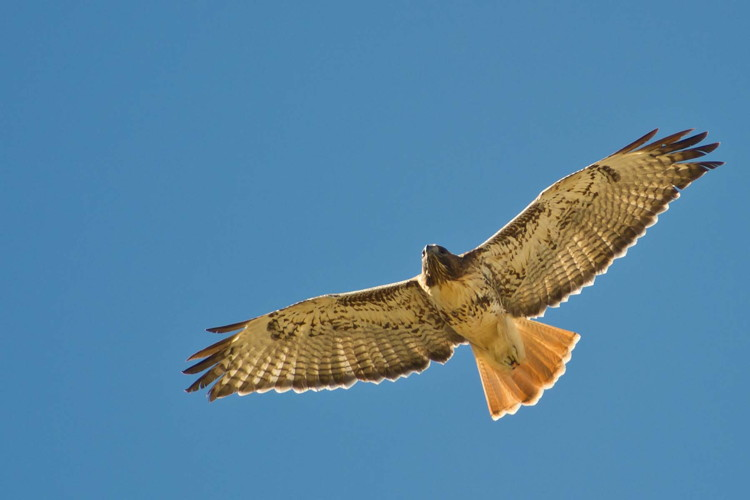 Red-tailed Hawk by Lance Wilson