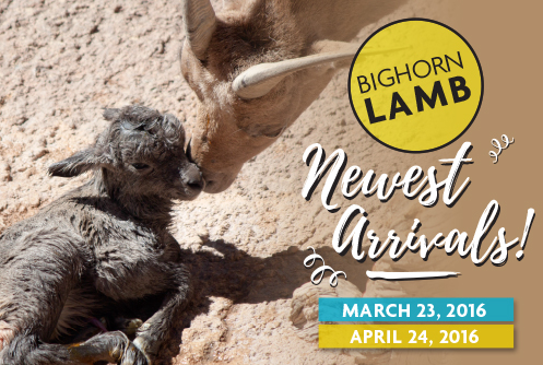 Bighorn Lamb - Newest Arrivals! March 23 and April 24, 2016