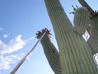 Saguaro Fruit Harvesting