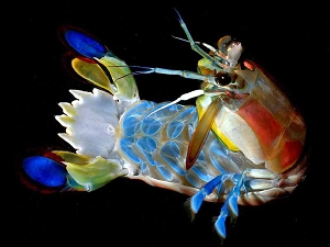 Mantis shrimp (Squillidae). Photo by Larry Jon Friesen