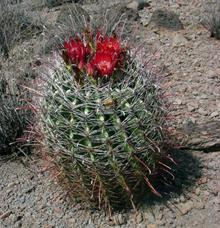 Gancho de peixe Cactus