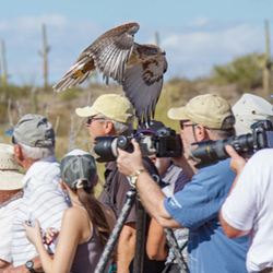 A hawk skims guests' heads during Raptor Free Flight