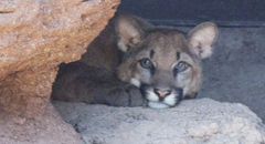 The cub peers out from behind a rock