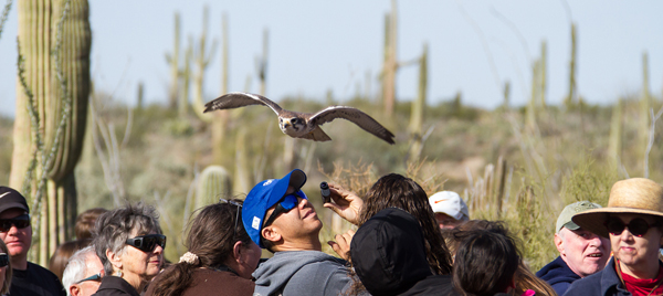The crowd watches as a Prairie Falcon flies over their heads
