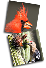 Cardinal and Woodpecker beak photos