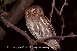 Elf Owl Fact Sheet