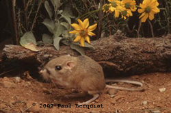 Kangaroo Rat Fact Sheet
