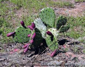 Cactus Wren Fact Sheet