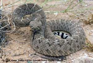 Image result for western diamond rattlesnake