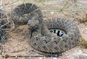 Western Diamondback Rattlesnake Fact Sheet