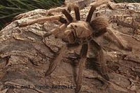 Tarantula Fact Sheet