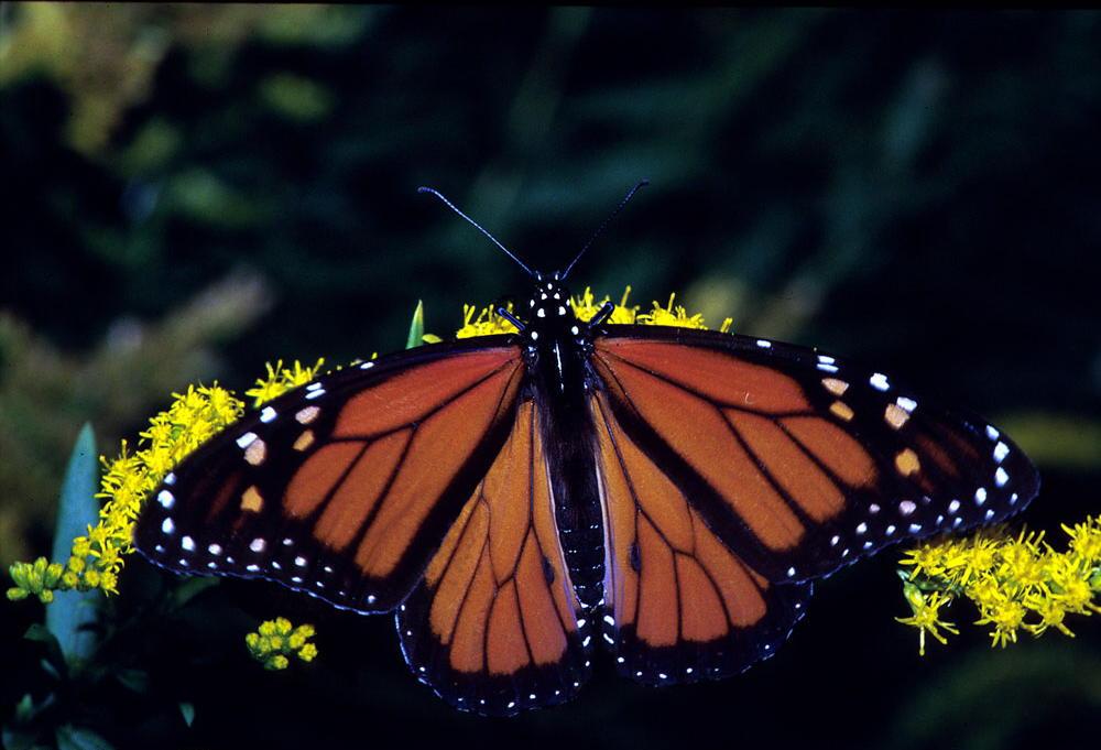 Migratory Pollinators